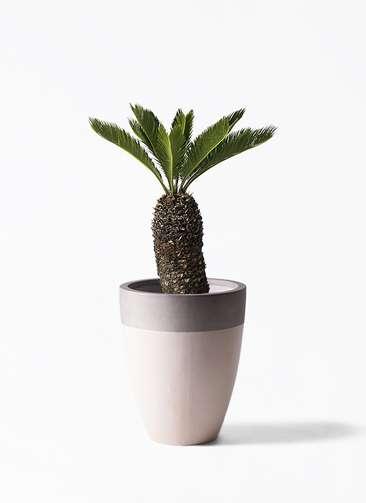観葉植物 ソテツ 8号 ファイバーストーンカプリ サンディホワイト 付き