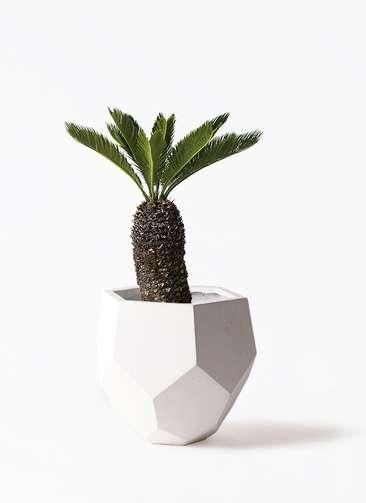 観葉植物 ソテツ 8号 ポリゴヘクサ 白 付き