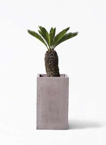 観葉植物 ソテツ 8号 セドナロング グレイ 付き