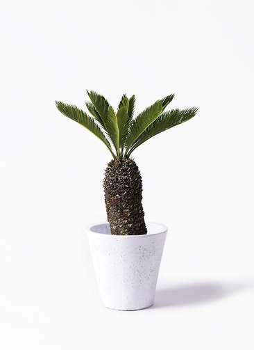観葉植物 ソテツ 8号 フォリオソリッド 白 付き