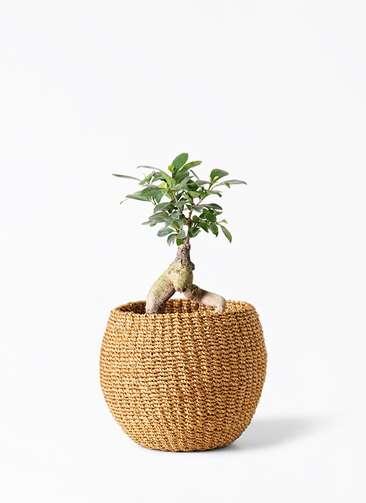 観葉植物 ガジュマル 4号 股仕立て アバカバスケット タン 付き
