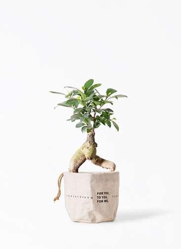 観葉植物 ガジュマル 4号 股仕立て ラップサック 付き