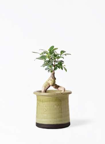 観葉植物 ガジュマル 4号 股仕立て アンティークテラコッタ グリーン 付き
