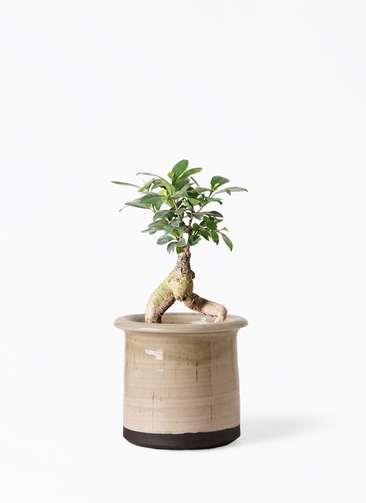 観葉植物 ガジュマル 4号 股仕立て アンティークテラコッタ グレイ 付き