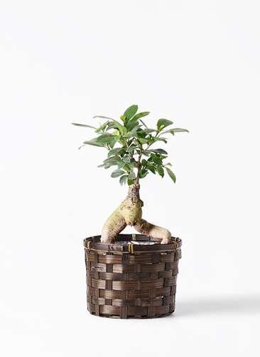 観葉植物 ガジュマル 4号 股仕立て 竹バスケット付き