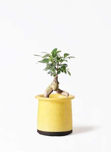 観葉植物 ガジュマル 4号 股仕立て アンティークテラコッタ イエロー 付き