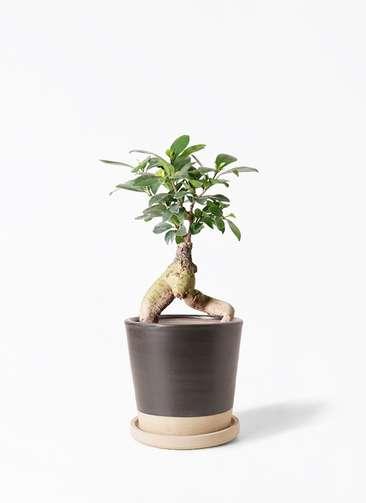 観葉植物 ガジュマル 4号 股仕立て マット グレーズ テラコッタ ブラック 付き