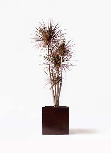 観葉植物 ドラセナ コンシンネ レインボー 10号 ストレート MOKU キューブ 付き