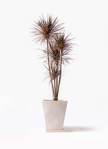 観葉植物 ドラセナ コンシンネ レインボー 10号 ストレート スクエアハット 白 付き