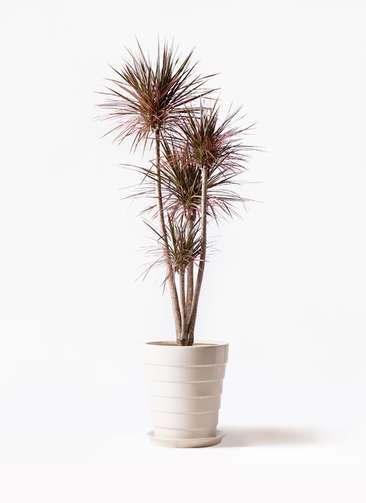 観葉植物 ドラセナ コンシンネ レインボー 10号 ストレート サバトリア 白 付き