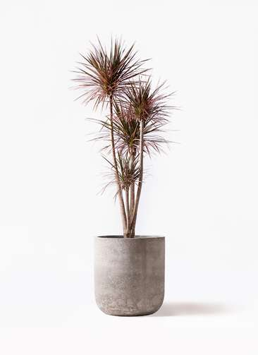 観葉植物 ドラセナ コンシンネ レインボー 10号 ストレート エルバ 白 付き
