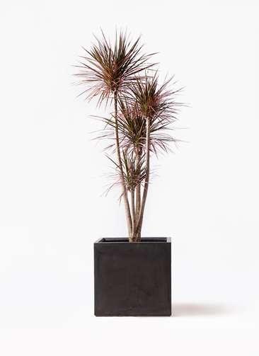 観葉植物 ドラセナ コンシンネ レインボー 10号 ストレート ファイバークレイ 付き