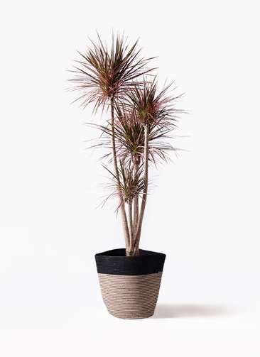 観葉植物 ドラセナ コンシンネ レインボー 10号 ストレート リブバスケットNatural and Black 付き
