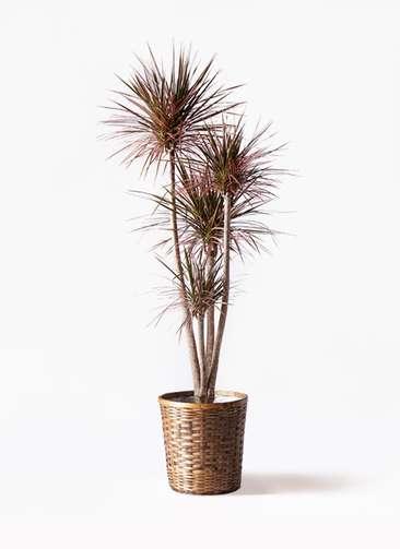 観葉植物 ドラセナ コンシンネ レインボー 10号 ストレート 竹バスケット 付き
