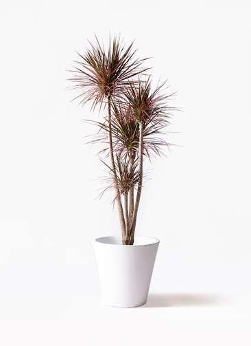 観葉植物 ドラセナ コンシンネ レインボー 10号 ストレート フォリオソリッド 白 付き