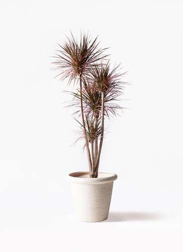 観葉植物 ドラセナ コンシンネ レインボー 10号 ストレート ビアスリムス 白 付き