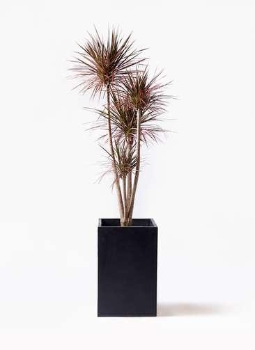 観葉植物 ドラセナ コンシンネ レインボー 10号 ストレート セドナロング 墨 付き