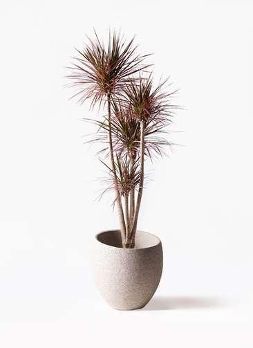 観葉植物 ドラセナ コンシンネ レインボー 10号 ストレート エコストーンLight Gray 付き