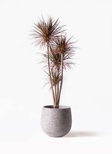 観葉植物 ドラセナ コンシンネ レインボー 10号 ストレート エコストーンGray 付き