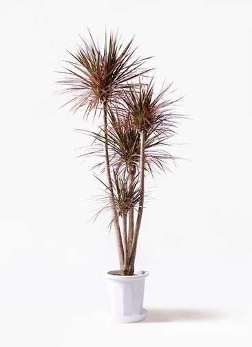観葉植物 ドラセナ コンシンネ レインボー 10号 ストレート プラスチック鉢