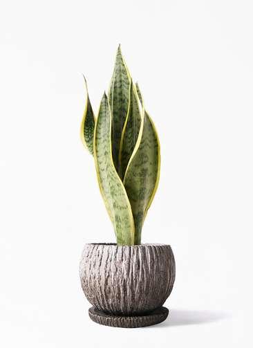 観葉植物 サンスベリア 4号 トラノオ ストーン ウェア セラミック 付き