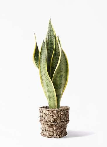 観葉植物 サンスベリア 4号 トラノオ バスケット 付き