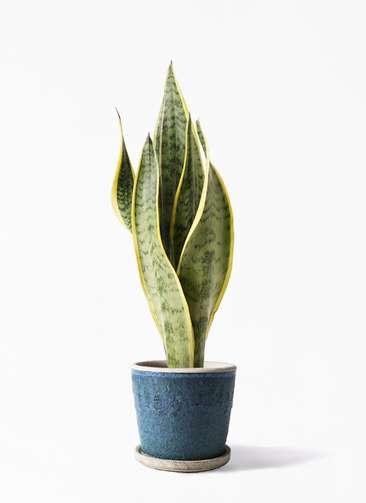 観葉植物 サンスベリア 4号 トラノオ フェイバーポット ブルー 付き