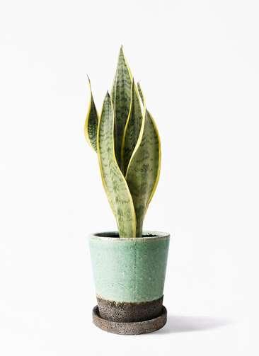 観葉植物 サンスベリア 4号 トラノオ ヴィフポット ミントグリーン 付き