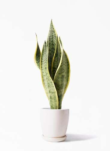 観葉植物 サンスベリア 4号 トラノオ アステア トール ホワイト 付き