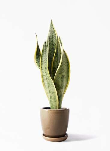観葉植物   サンスベリア 4号 トラノオ アステア トール ブラウン 付き