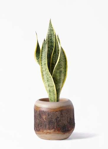 観葉植物 サンスベリア 4号 トラノオ マンゴーウッド 付き