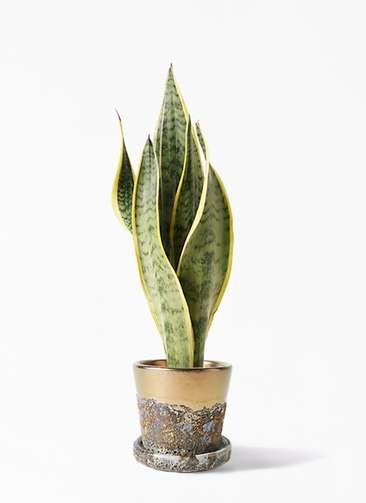 観葉植物 サンスベリア 4号 トラノオ ハレー ブロンズ 付き