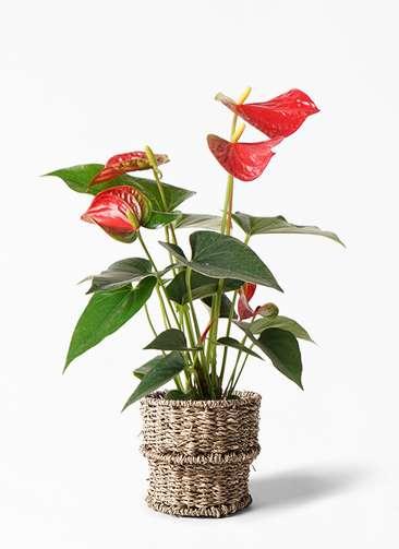 観葉植物 アンスリウム 4号 ダコタ バスケット 付き