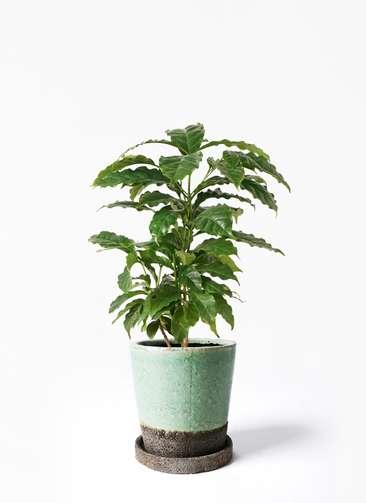 観葉植物 コーヒーの木 4号 ヴィフポット ミントグリーン 付き