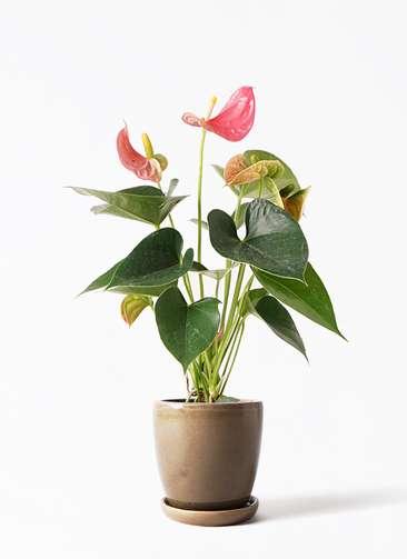観葉植物 アンスリウム 4号 ピンクチャンピオン アステア トール ブラウン 付き