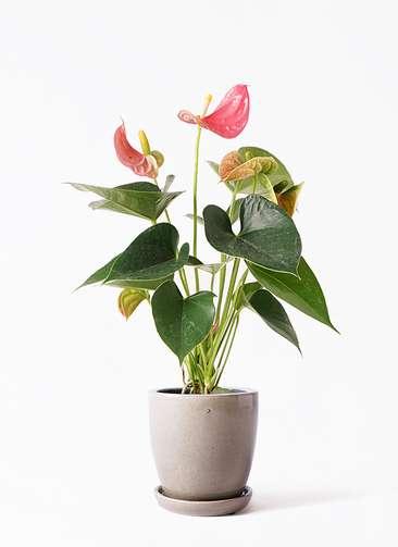 観葉植物 アンスリウム 4号 ピンクチャンピオン アステア トール ベージュ 付き
