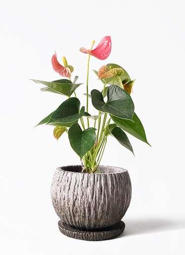 観葉植物 アンスリウム 4号 ピンクチャンピオン ストーン ウェア セラミック 付き