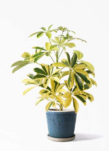 観葉植物 カポック(シェフレラ) 4号 斑入り フェイバーポット ブルー 付き