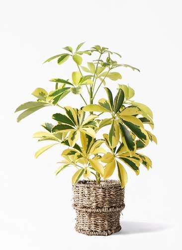 観葉植物 カポック(シェフレラ) 4号 斑入り バスケット 付き