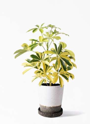 観葉植物 カポック(シェフレラ) 4号 斑入り ヴィフポット ホワイト 付き