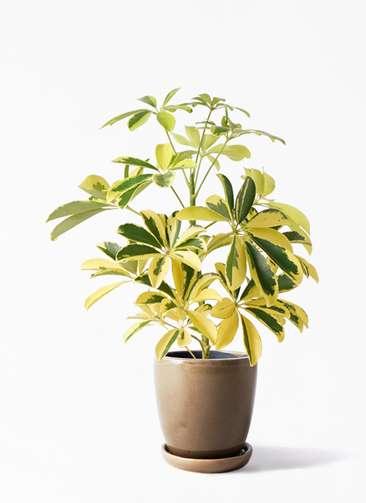 観葉植物 カポック(シェフレラ) 4号 斑入り アステア トール ブラウン 付き