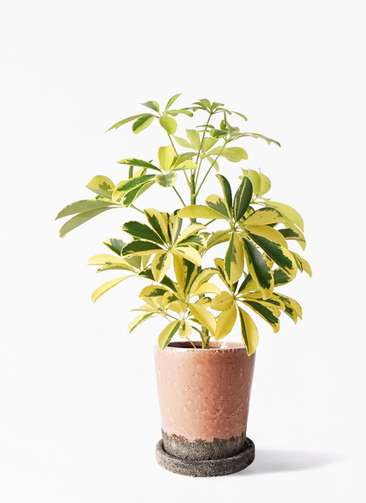 観葉植物 カポック(シェフレラ) 4号 斑入り ヴィフポット サーモンピンク 付き