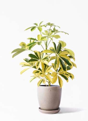 観葉植物 カポック(シェフレラ) 4号 斑入り アステア トール ベージュ 付き