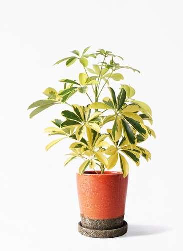観葉植物 カポック(シェフレラ) 4号 斑入り ヴィフポット オレンジ 付き