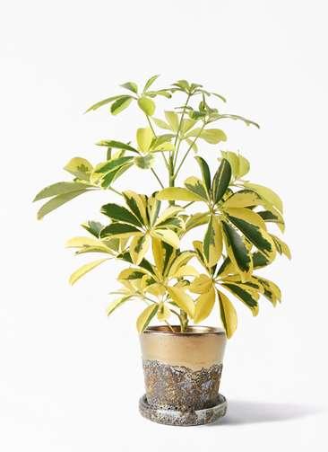 観葉植物 カポック(シェフレラ) 4号 斑入り ハレー ブロンズ 付き