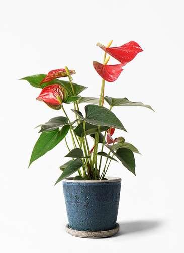 観葉植物 アンスリウム 4号 ダコタ フェイバーポット ブルー 付き
