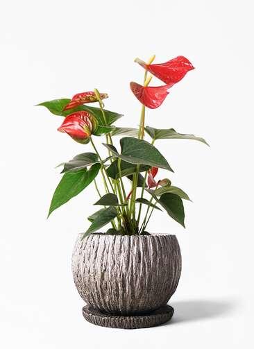 観葉植物 アンスリウム 4号 ダコタ ストーン ウェア セラミック 付き