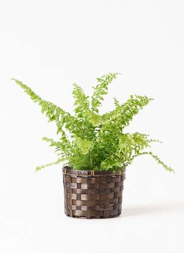 観葉植物 ネフロピレス 3.5号 竹バスケット付き