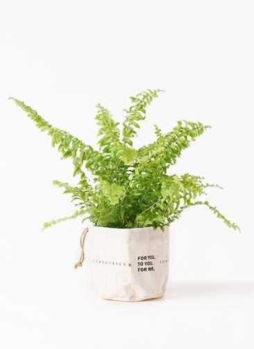 観葉植物 ネフロピレス 3.5号 ラップサック 付き