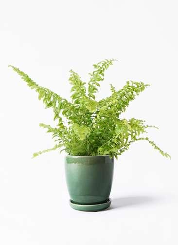 観葉植物 ネフロピレス 3.5号 アステア トール グリーン 付き